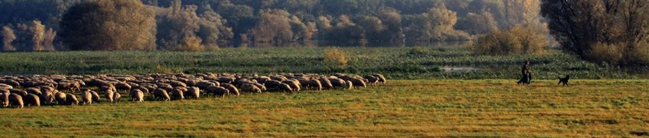 Schafe im Oderbruch